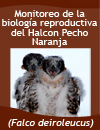 Monitoring of Reproductive behavior of the falco deiroleucus at Tikal Park