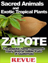 Zapote, edible fruits of Guatemala, tzapotl in nahuatl, Manikara zapote or chicozapote. Belongs to t