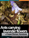 Ants carrying lavender flowers at Copan Ruinas, Honduras. Leaf Cutting Ants mentioned in the Popol Vuh