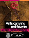 Ants carrying red flowers at Copan Ruinas, Honduras