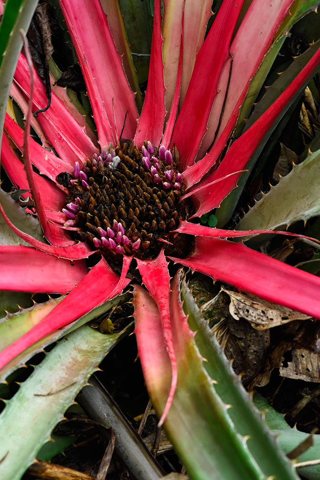 Bromelia-karatas-edible-Chimepech-Senahu-a-bromelia-that-leave-in-the-ground-3537