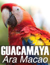 52 scarlet-macaw-guacamaya-Ara-macao-Maya-ethnozoology-Mayan-iconography-Copan-ruinas-Honduras-digital-bird-photography-reviews-100