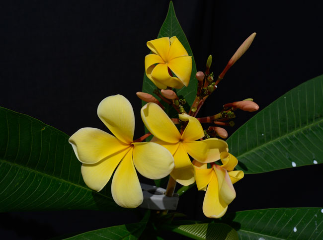Plumeria yellow Sacapulas May 28 2015 7940