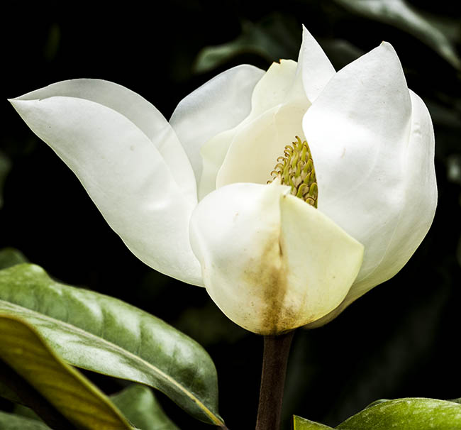 magnolia-talauma-mexicana-photo-10K9163