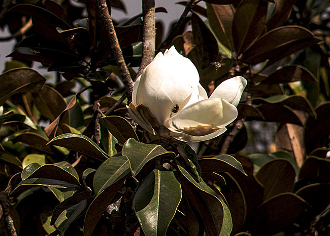 magnolia-talauma-mexicana-photo-9805