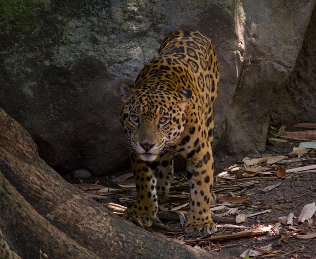 Q'eqchi' Mayan words for all common mammals, Guatemala