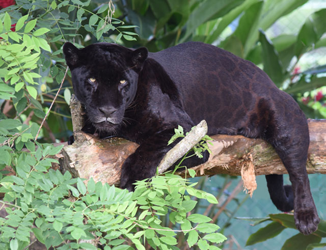 black-panther-melanistic-jaguar-animals-of-Guatemala-Mexico-Belize-FAE-Izabal 2253