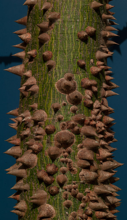 Ceiba Pentandra with spines