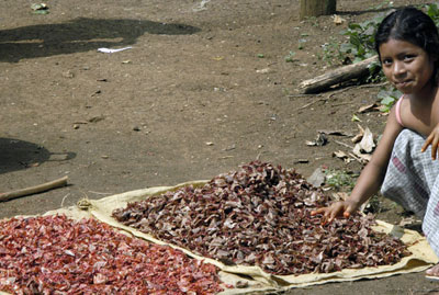 Indigenous woman of Guatemala toasting Achiote, anthropology research on achiote