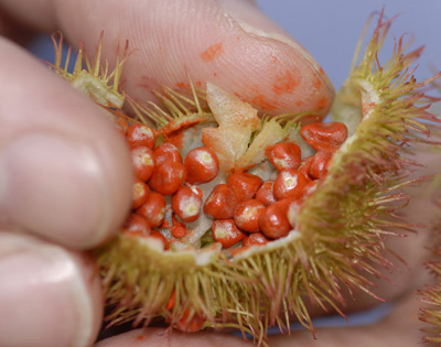 anthropology research on achiote