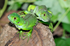 baby green iguanas Photo by Nicholas Hellmuth FLAAR photo archive.