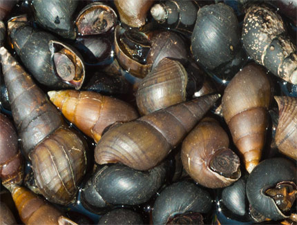 Detailed view of the freshwater snails sold at the market. Image by Nicholas Hellmuth with a Canon EOS-1Ds Mark III