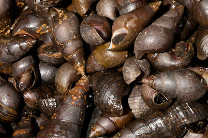 Snails are part of the Maya diet, image by Nicholas Hellmuth with Canon EOS-1Ds Mark III, March 2012