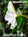 Ipomoea alba, Moonflower, is a morning glory that opens at night