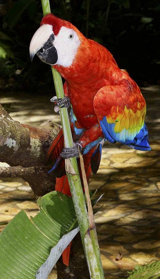 photo-of-scarlet-macaw-Ara-macao-Copan-002035